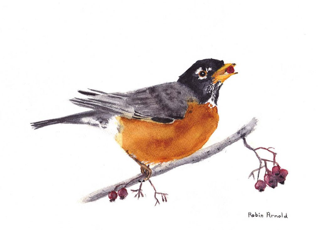Robin Watercolor by Robin Arnold
