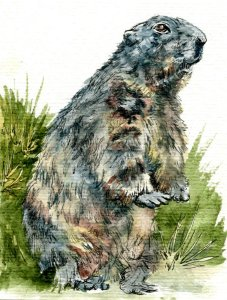 Alpine Marmot – Zebra Technical Pen & Daniel Smith Watercolor on Hahnemühle Burgund Postc