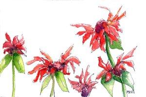 1/25/20 Something Red – Bee Balm 1.25.20 Something Red img015