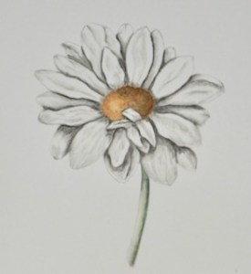 #doodlewashJanuary2020. A simple Daisy for my new students to tackle done with watercolour pencils D