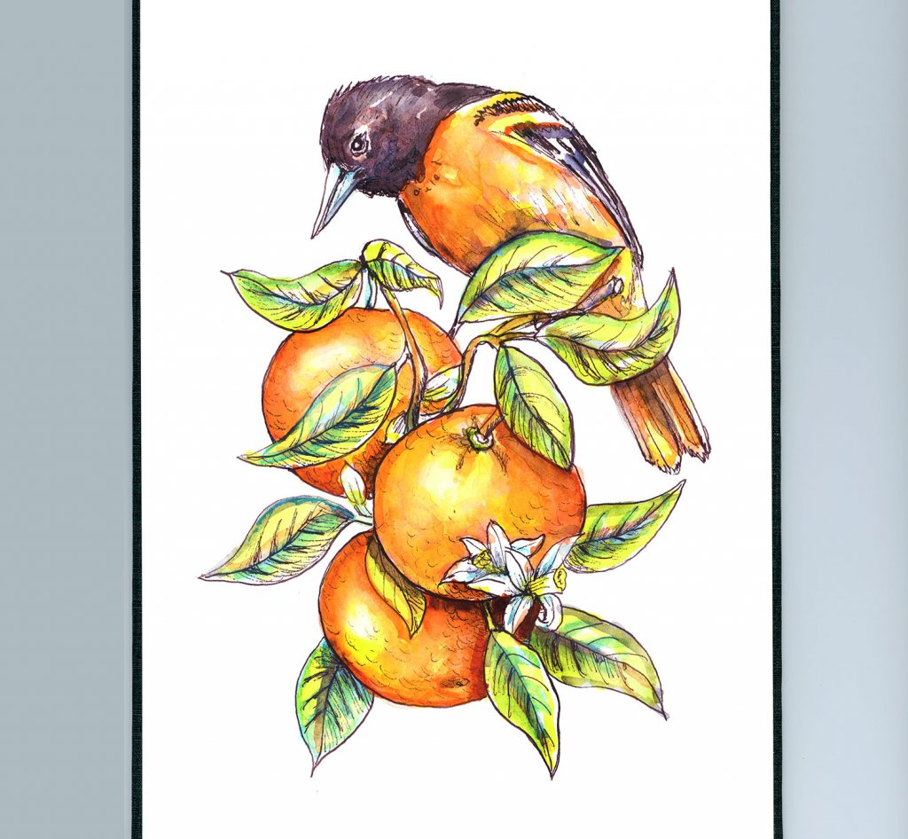 Baltimore Oriole And Oranges Watercolor Illustration Sketchbook Detail