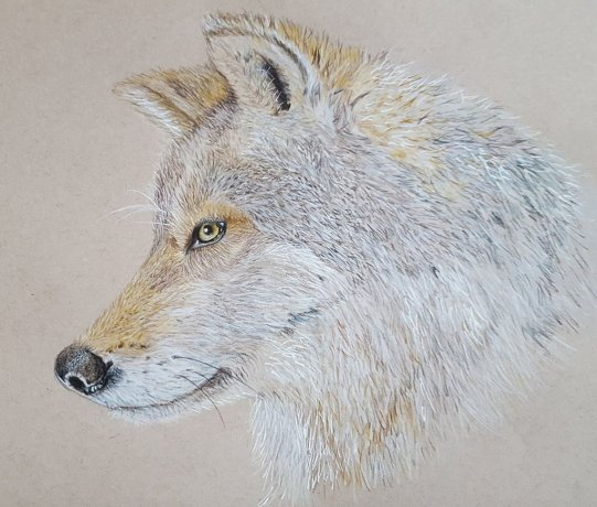 Wold Watercolor Pencil Painting by Judy Jones