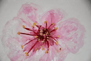 Cherry blossom close up. 14/02/2020 _DSC4518