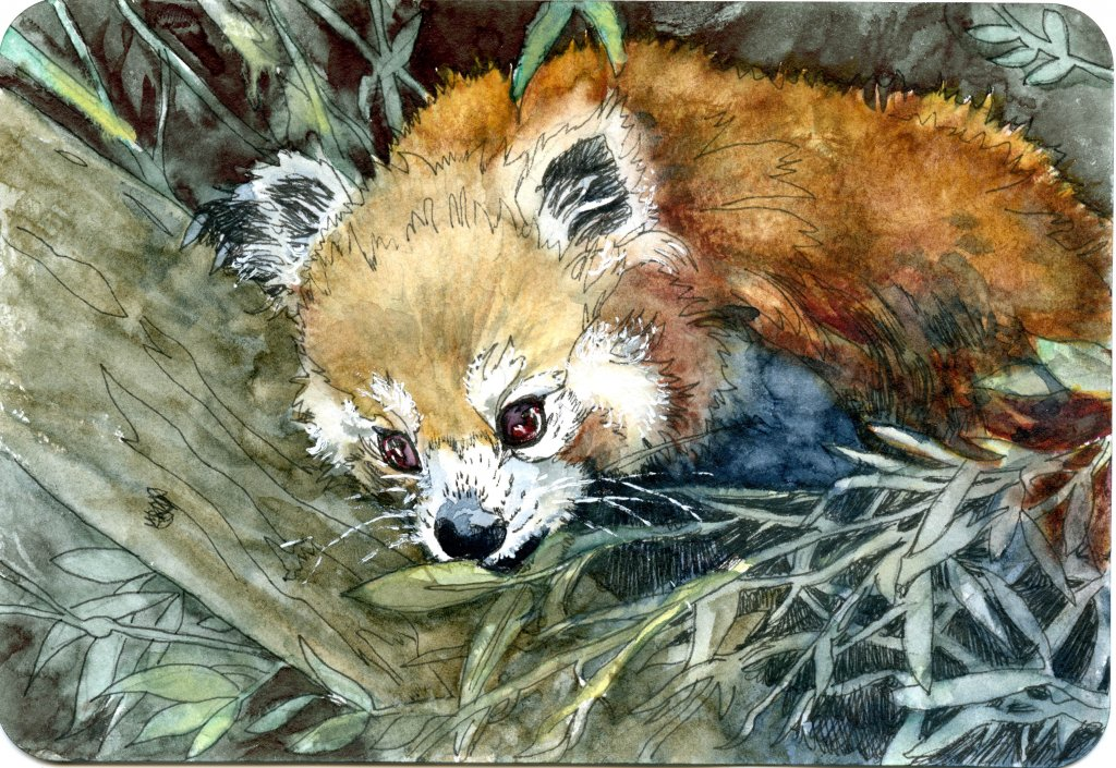 Red Panda – #PostcardsForTheLunchBag Did you know that the Red Panda's coloration is goo