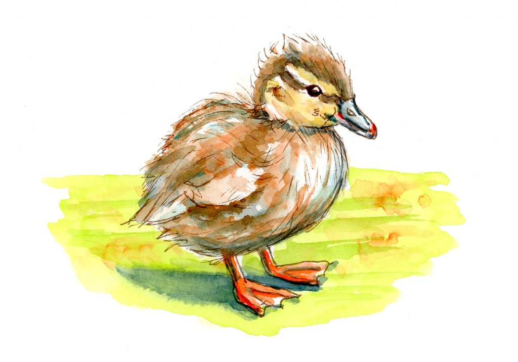 Duckling Baby Duck Watercolor Illustration