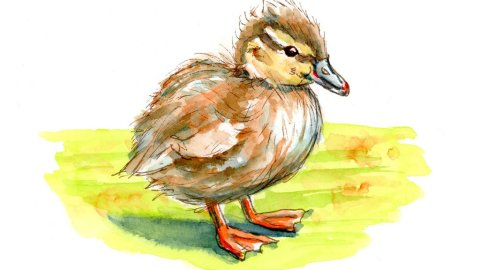 Duckling Baby Duck Watercolor Illustration