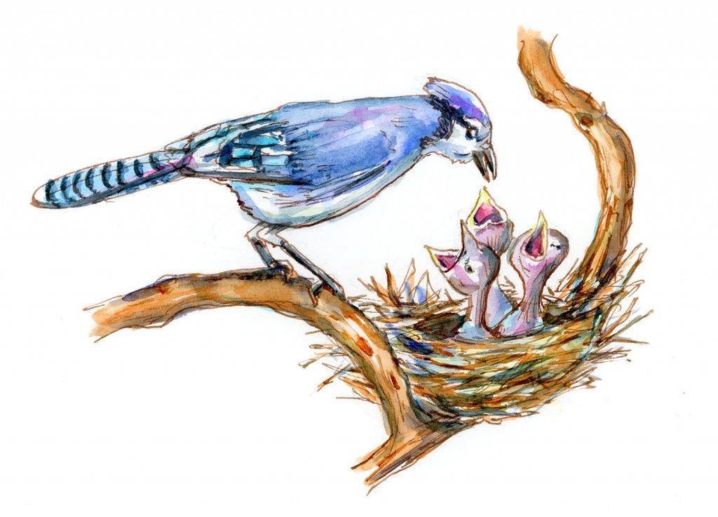 Blue Jay Nest Baby Birds Watercolor Illustration
