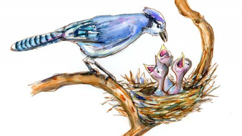 Blue Jay Nest Baby Birds Watercolor Illustration