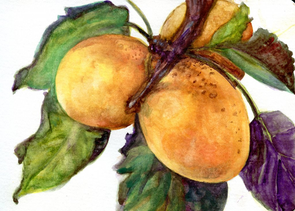 Did you know that apricots are a member of the rose family and closely related to almonds? Daniel Sm