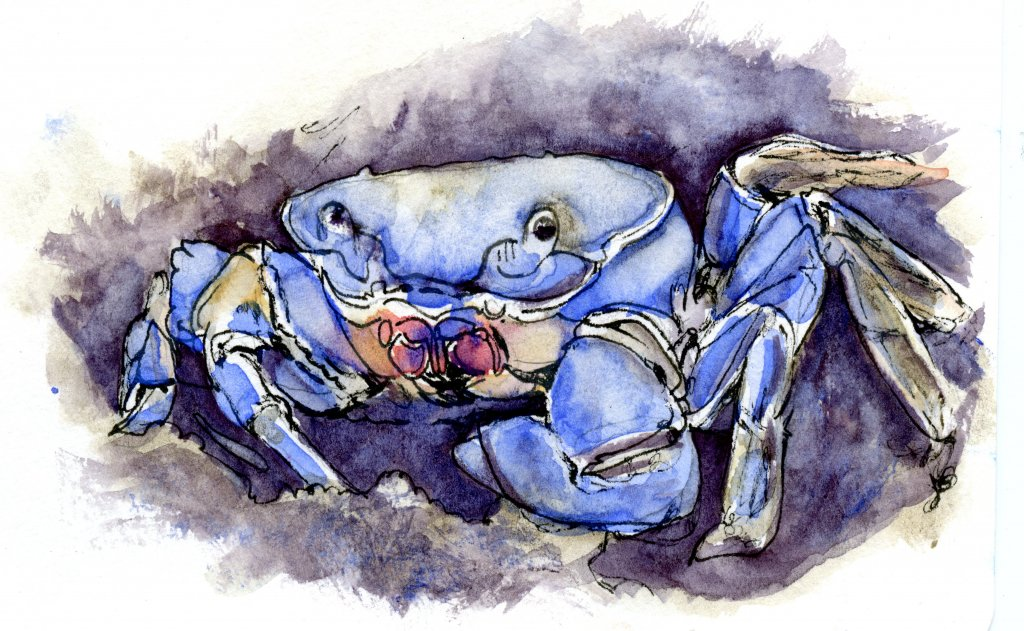 Did you know that the blue crab's scientific name – Callinectes Sapidus – means &#