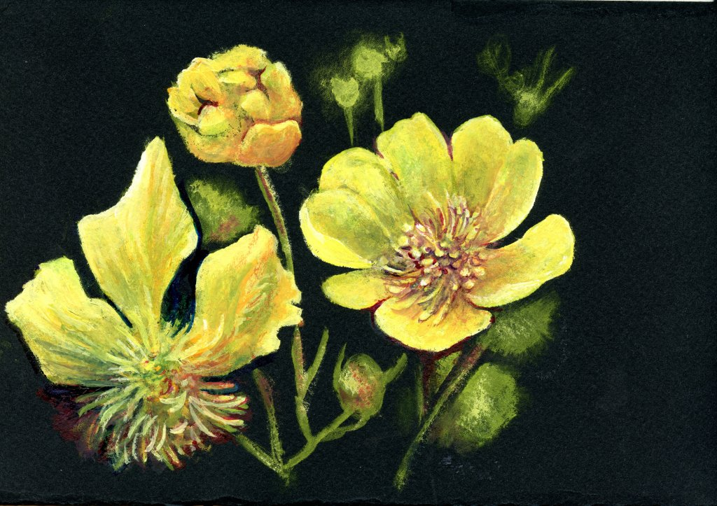 Did you know that there are almost 2000 different species of buttercup? Da Vinci Gouache on Stonehen