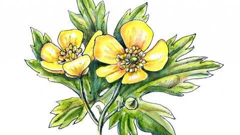 Buttercup Flowers Watercolor Painting