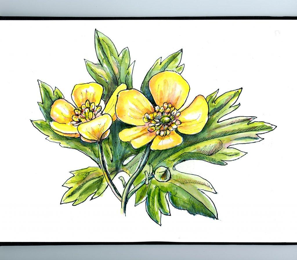 Buttercup Flowers Watercolor Painting Sketchbook Detail