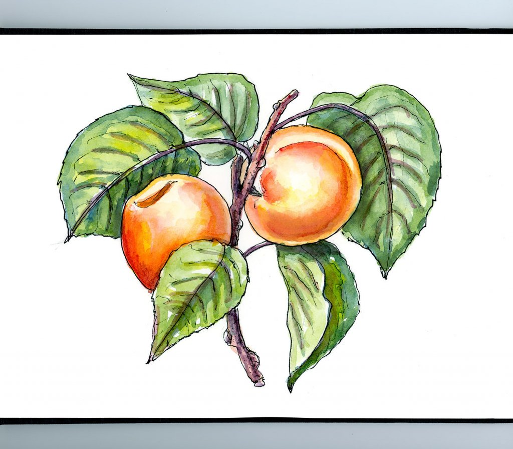 Apricots On Tree Botantical Watercolor Illustration Sketchbook Detail