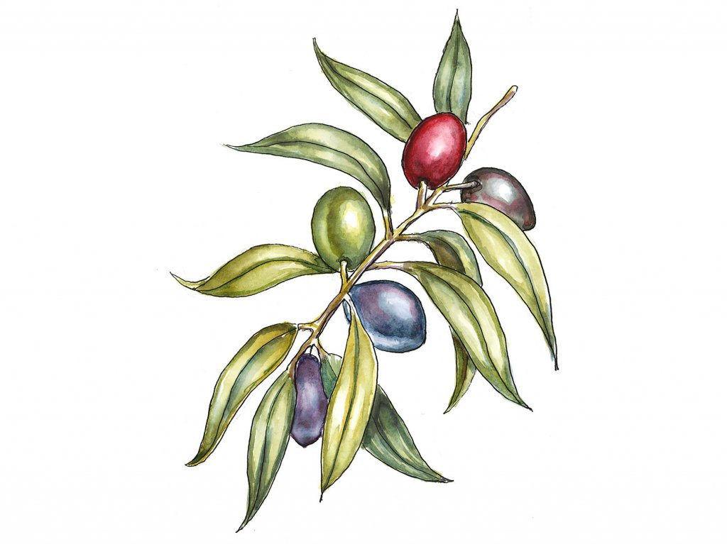 Olive Branch Colorful Watercolor Painting Botanical Illustration