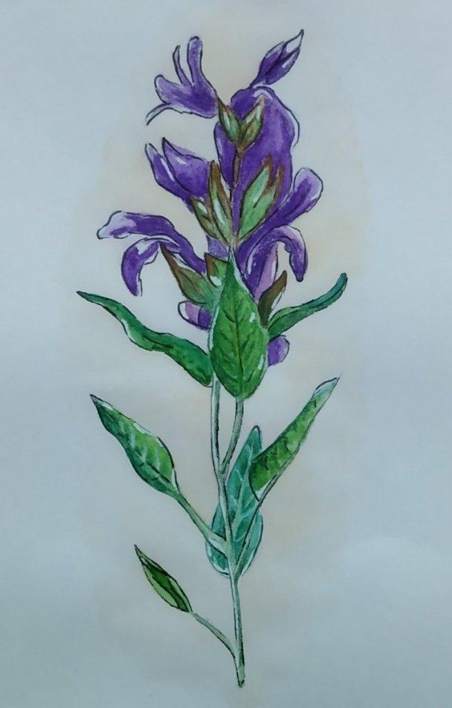 Prompt 26 Sage flower #doodlewashMay2020 #WorldWatercolorGroup #camelartistswatercolourcakes #handma
