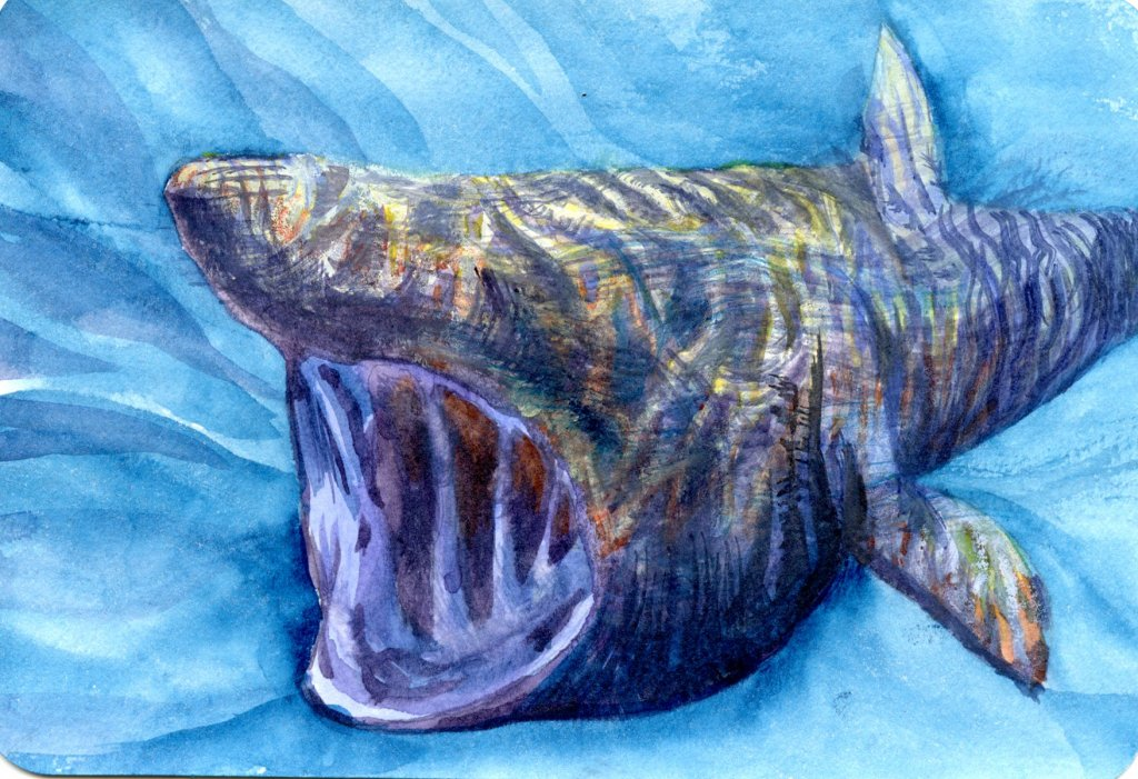 Doodlewash Prompt: Shark. Did you know that the basking shark has hundreds of tiny teeth, but doesn&