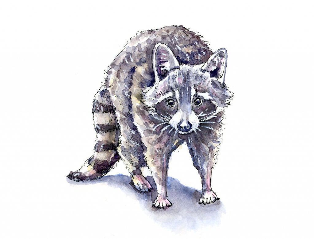 Raccoon Face Standing Watercolor Painting Illustration