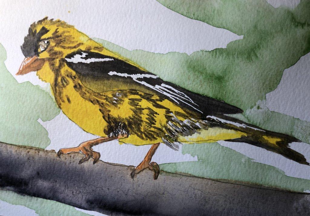A California Finch IMG_0796 1