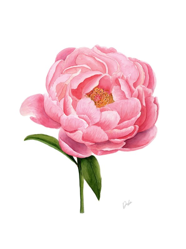 peony flower watercolor painting by Disha Sharma