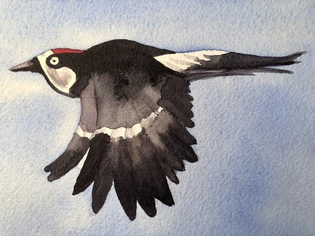 "Day 7 ""FREE"" and wild acorn woodpecker 327D64D2-D39F-4BE4-9CF4-771D228D3BCB"