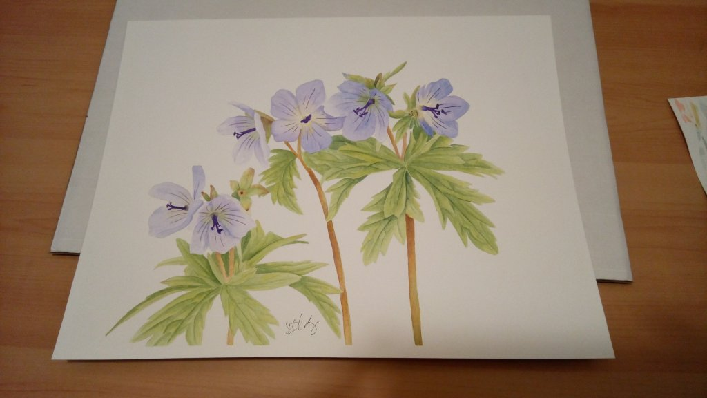 The wild Geraniums are so prolific this year in Alaska, they are one of my favorite wild flowers. IM