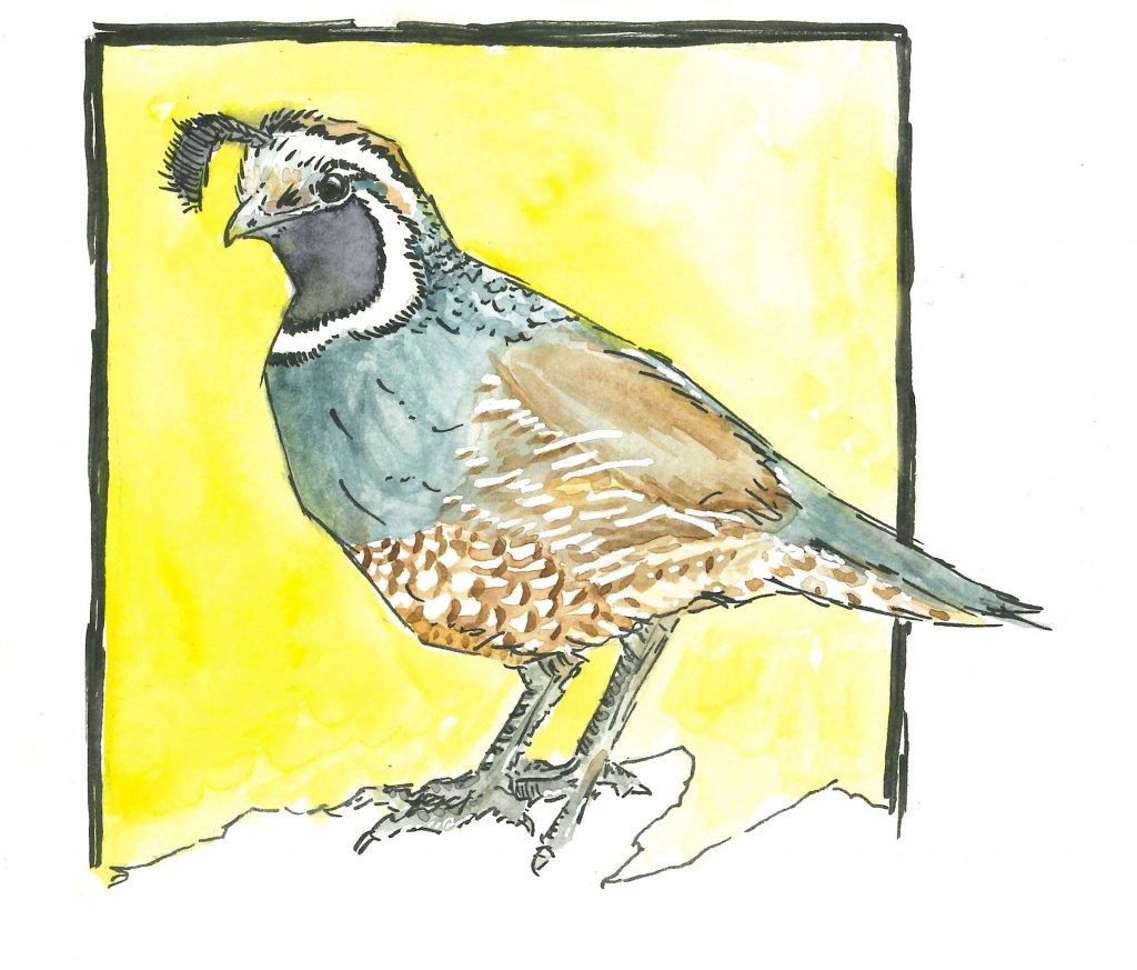 Quail quail