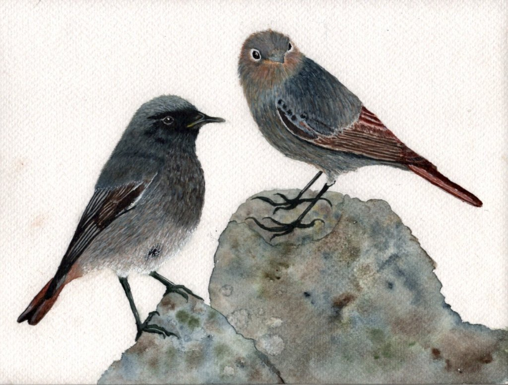 This is a Black Redstart couple that nested at a friend's house I visited in the spring. Sometimes