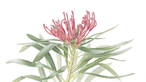 Monga Waratah Bontanical Illustration Watercolor by Cheryl Hodges