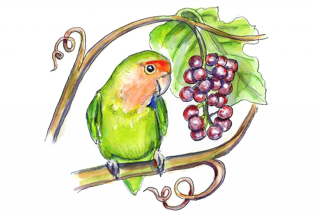 Rosy Peach Faced Lovebird Grapes Watercolor Painting Illustration