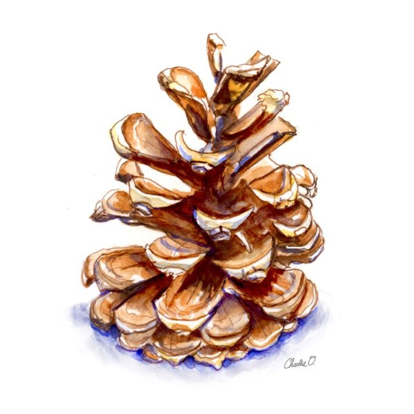 Pine Cone Winter Holiday Watercolor Illustration Print Signed Detail copy