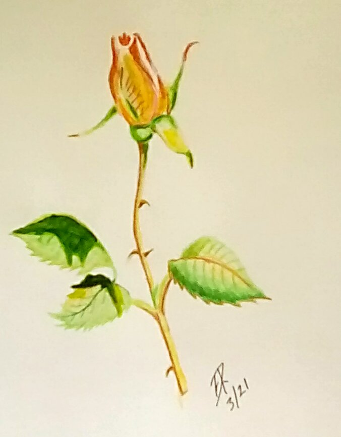 """Today's watercolor challenge """"Bud"""" #Doodlewash. I love it when my roses start to b"""