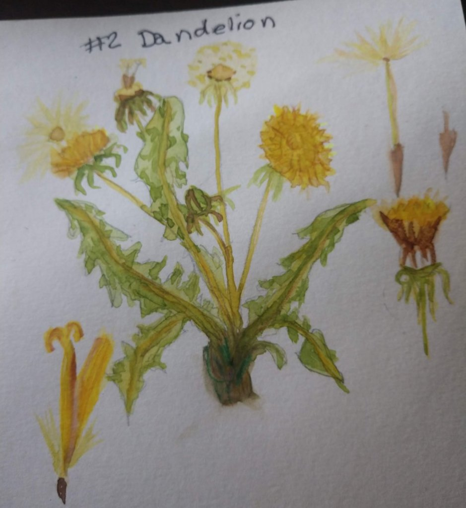 March 2 Dandelion March 2 Dandelion