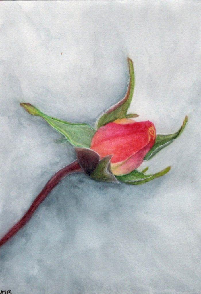 Rose bud 6D1200D0-E767-43E4-8268-72F32B0CFACE