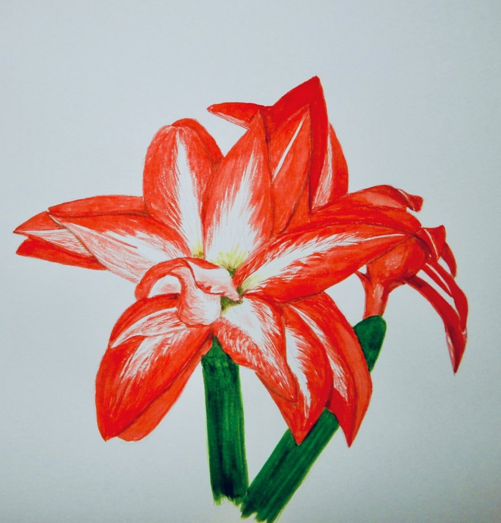 World Watercolour Group™. Number three of my series of fifteen Amaryllis This is called Barba