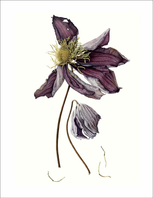 #Doodlewash - Watercolor Illustration by Julia Trickey - dessicated clematis - #WorldWatercolorGroup