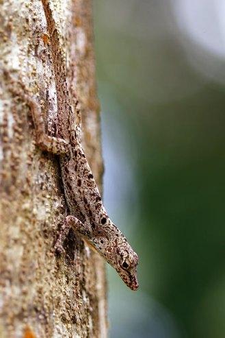 Tree Gecko