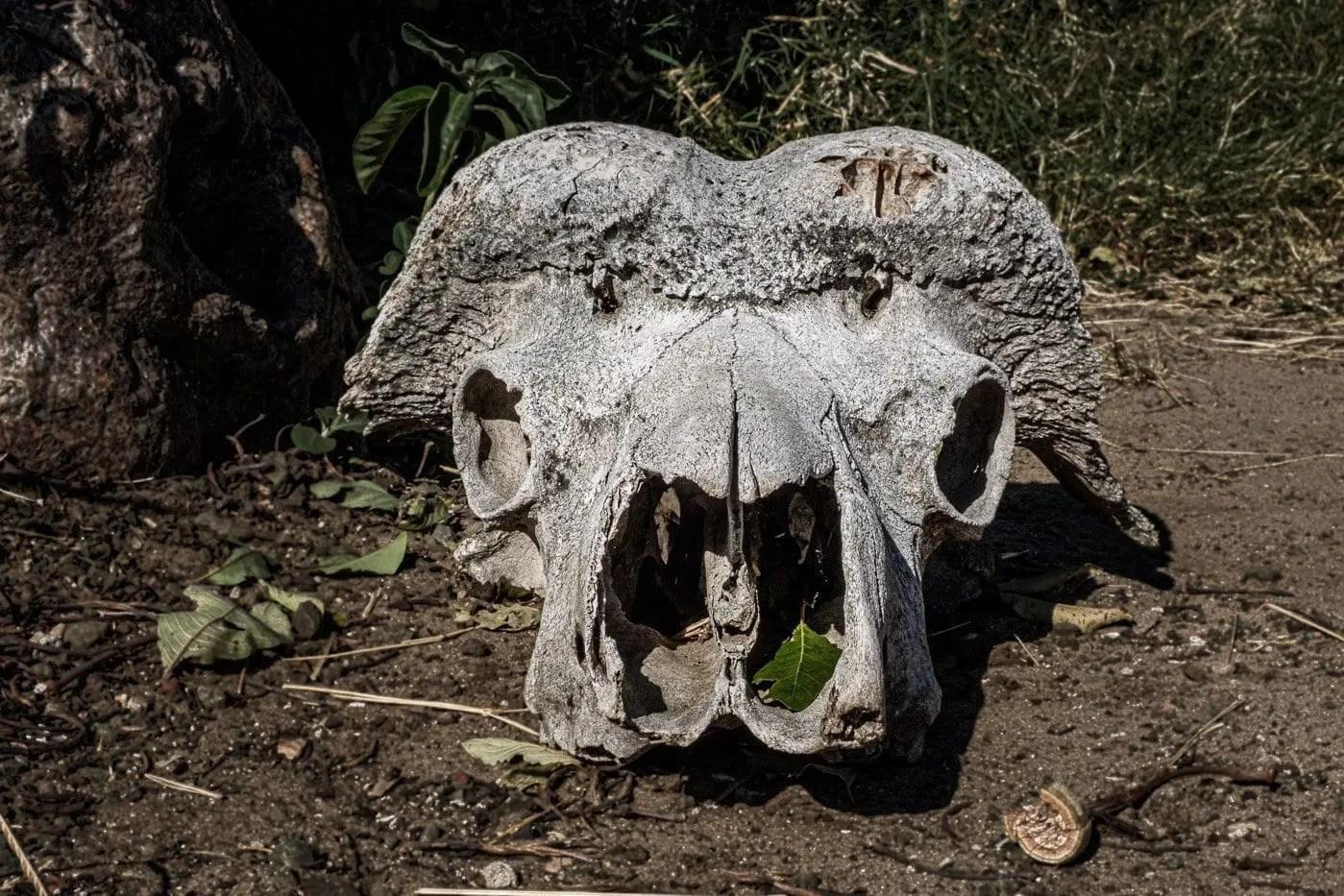 Teschio di elefante | Gabriele Orlini, ©2019