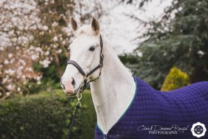 Grey horse photo shoot in Comberbatch