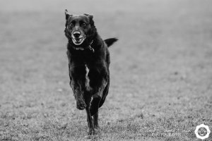 black and white image of a dog running