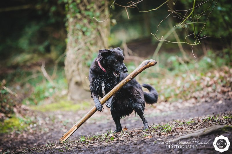 Dog attacking a stick