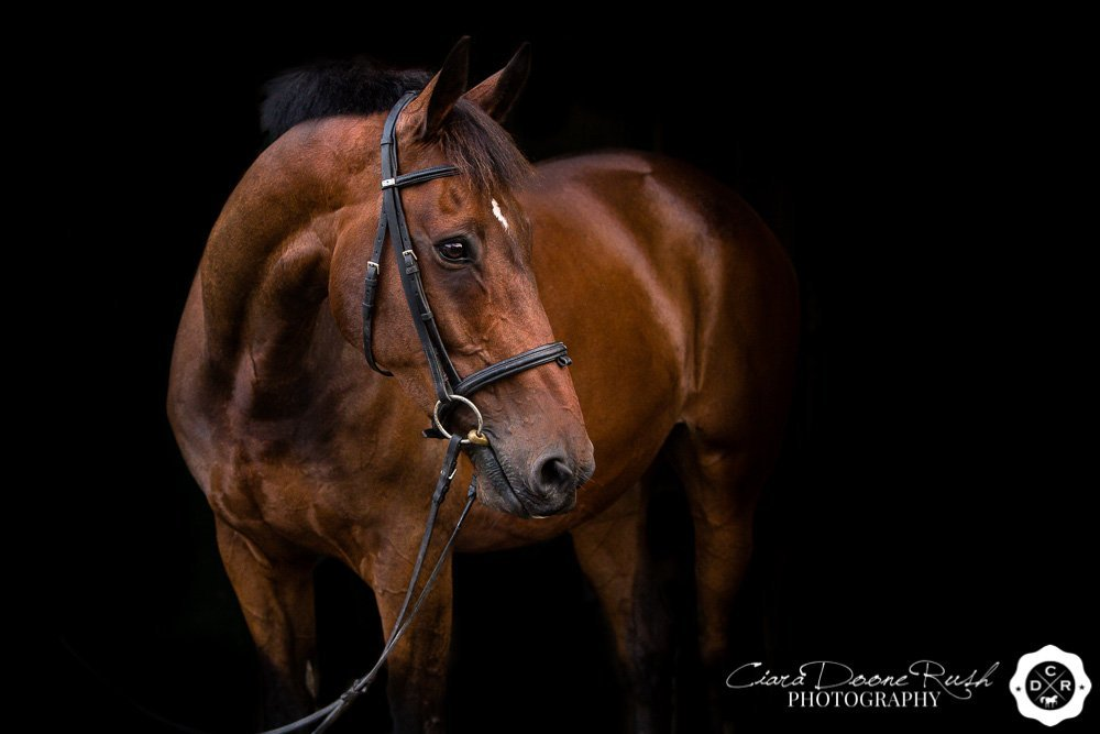 a portrait of a bay gelding