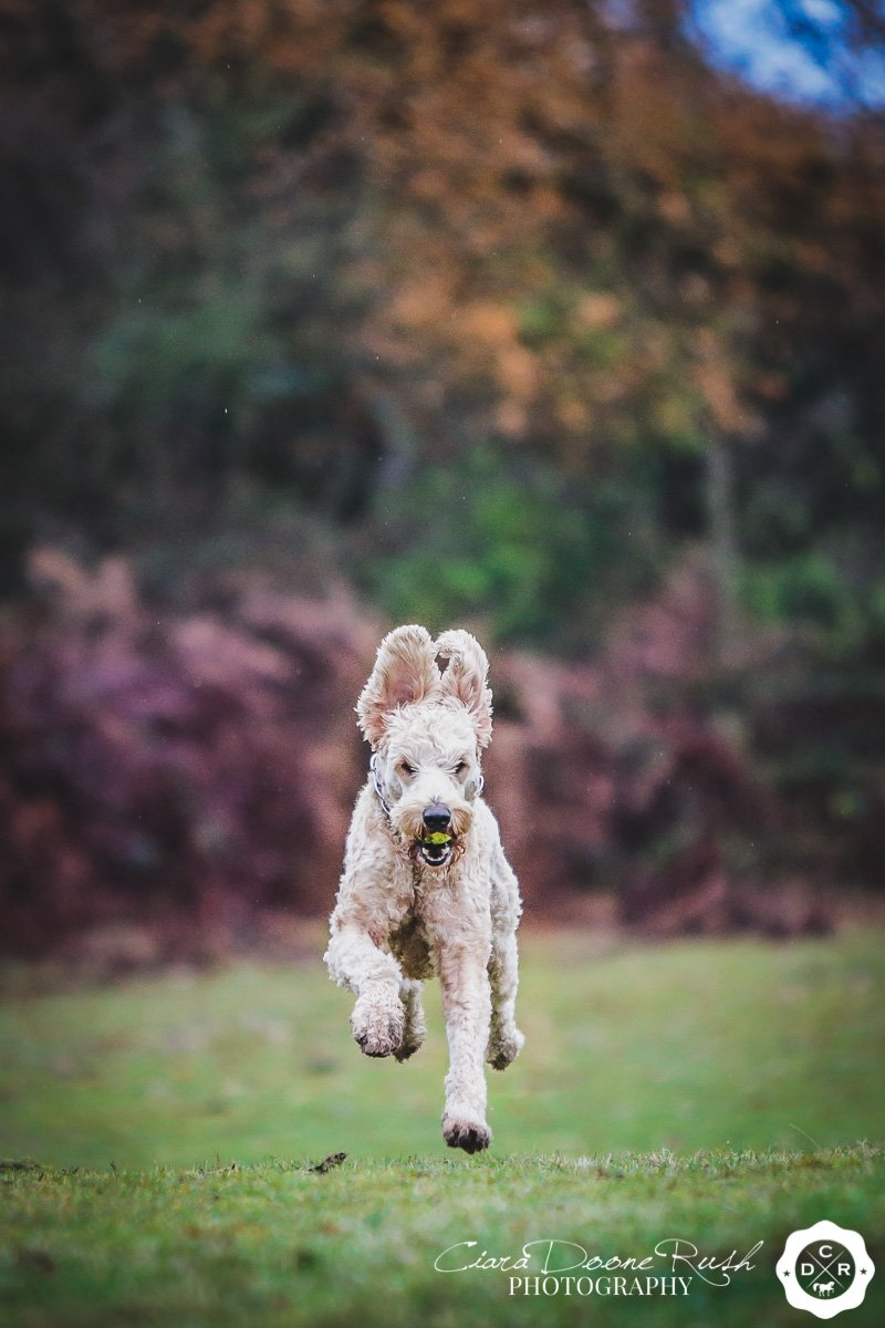 a labradoodle running through a field