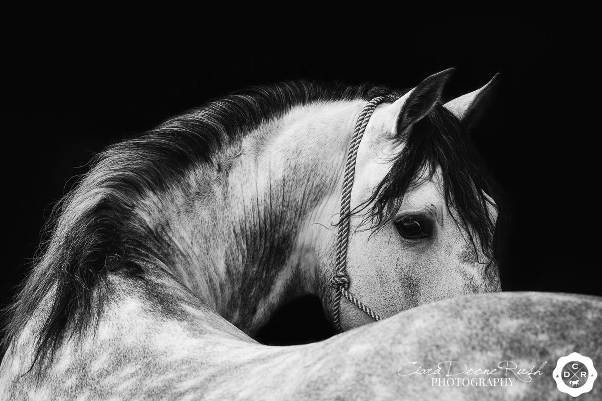 a grey horse on a black background