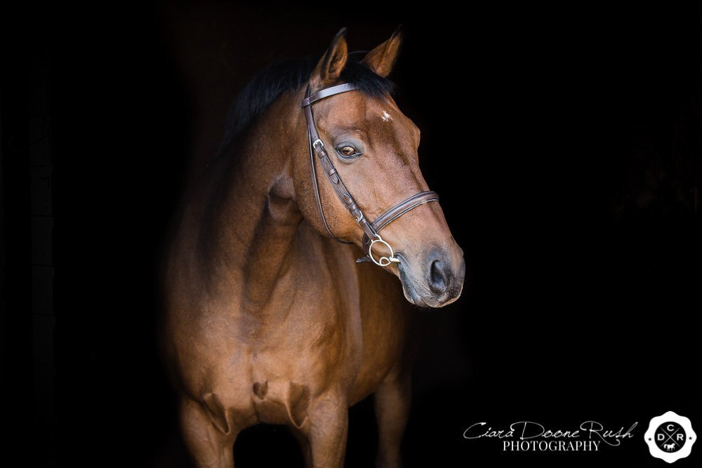 a portrait of a bay horse