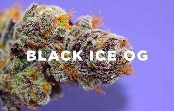 Trichome Tuesday: Black Ice OG 2