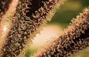 Trichome Tuesday: Strawberry Banana 1