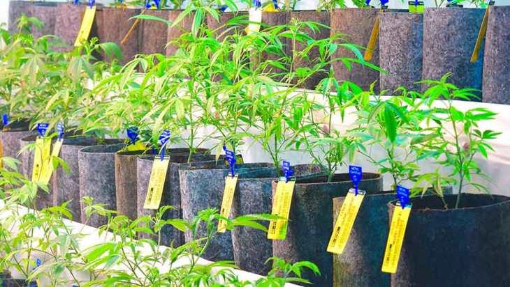 STANDING AKIMBO: Proper Medical Marijuana in the Mile High 1