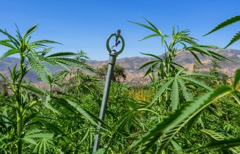 Morocco's Cannabis Farmers Are Radically Overhauling Their Grow Methods