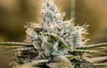 Matrix NV's Super Sour Diesel: First-Rate Daily Driver